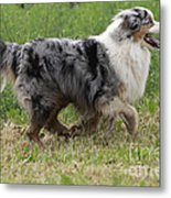 Australian Shepherd Dog Metal Print