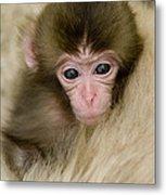 Baby Snow Monkey, Japan Metal Print