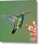 Broad-billed Hummingbird Metal Print