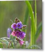 Common Lungwort Metal Print