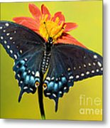 Eastern Black Swallowtail Butterfly Metal Print