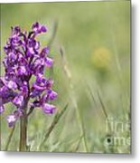 Green-winged Orchid Metal Print