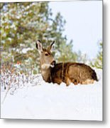 Mule Deer In Snow Metal Print