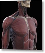 Muscles Of The Upper Body Metal Print
