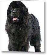 Newfoundland Dog Metal Print