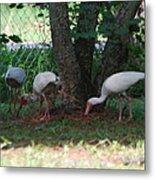 White Ibis Metal Print