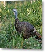Eastern Wild Turkey Metal Print