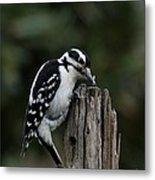 Hairy Woodpecker Metal Print