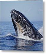 Humpback Whale Breaching Maui Hawaii Metal Print
