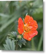 Scarlet Avens Orange Wild Flower Metal Print
