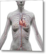 The Cardiovascular System Female Metal Print