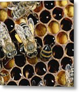 Honey Bees On Honeycomb Metal Print