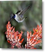 Black-chinned Hummingbird Metal Print
