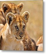 Lion With Cubs Metal Print