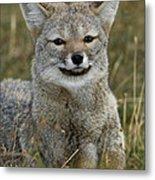Patagonia Grey Fox Metal Print
