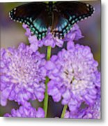 Red-spotted Purple Butterfly, Limenitis Metal Print