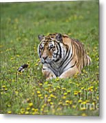 Siberian Tiger, China Metal Print
