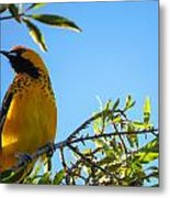 Spot Breasted Oriole Metal Print
