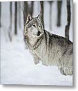 Timber Wolf Pictures Metal Print by Wolves Only