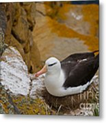 Black-browed Albatross Metal Print