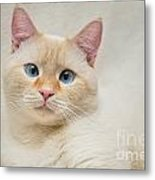 Flame Point Siamese Cat Metal Print