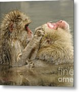 Snow Monkeys Metal Print
