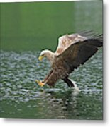 White-tailed Sea Eagle In Norway Metal Print