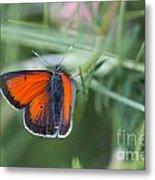 14 Balkan Copper Butterfly Metal Print