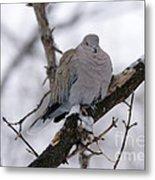 Eurasian Collard Dove Metal Print