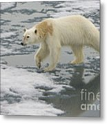 Polar Bear Walking On Ice Metal Print