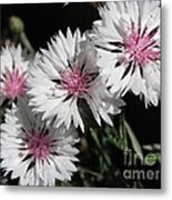 Bachelor Button From The Frosted Queen Mix Metal Print