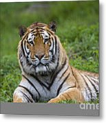 Siberian Tiger, China Metal Print