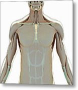 The Muscle System Metal Print