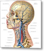 Venous System Of The Head And Neck Metal Print