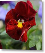 Viola Tricolor Heartsease Metal Print