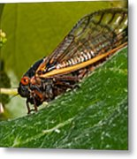 17 Year Cicada 3 Metal Print by Lara Ellis