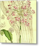 Botanical Print By Walter Hood Fitch 1817 – 1892 Metal Print