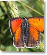 18 Balkan Copper Butterfly Metal Print