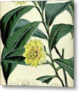 Botanical Print By Walter Hood Fitch 1817 – 1892 Metal Print