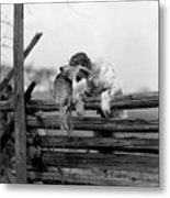 1920s English Setter Dog Climbing Metal Print