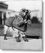 1930s Cocker Spaniel Wearing Glasses Metal Print