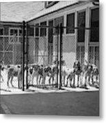 1930s Kennel Yard Full Of Foxhound Dogs Metal Print