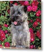 1990s Cairn Terrier Dog Standing Metal Print