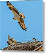 3 Ospreys At The Nest Metal Print