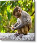 A Baby Macaque Eating An Orange Metal Print