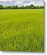 A Field Of Green Wheat Under A Cloudy Sky Metal Print