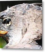 African Crowned Eagle Metal Print