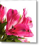 Alstroemeria Flowers Against White Metal Print