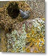 American Dipper And Nest   #1487 Metal Print