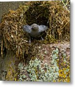 American Dipper And Nest   #1538 Metal Print